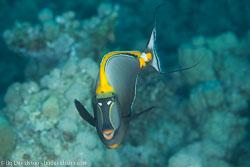 BD-120422-Fury-Shoal-6093-Naso-elegans-(Rüppell.-1829)-[Elegant-unicornfish].jpg
